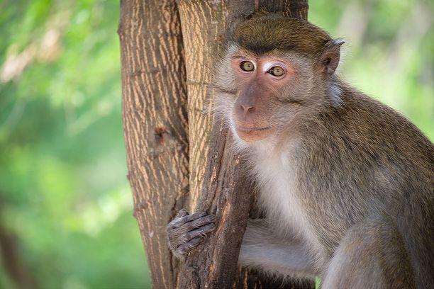 Oxfordin tutkijaryhmän mukaan reesusmakaki on pitkälti lähimpänä ihmistä oleva koe-eläin, joka on käytettävissä. Kuvituskuva.