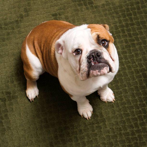 Englanninbulldoggi on melko pieni ja tukevarakenteinen koirarotu. Kuvituskuva.