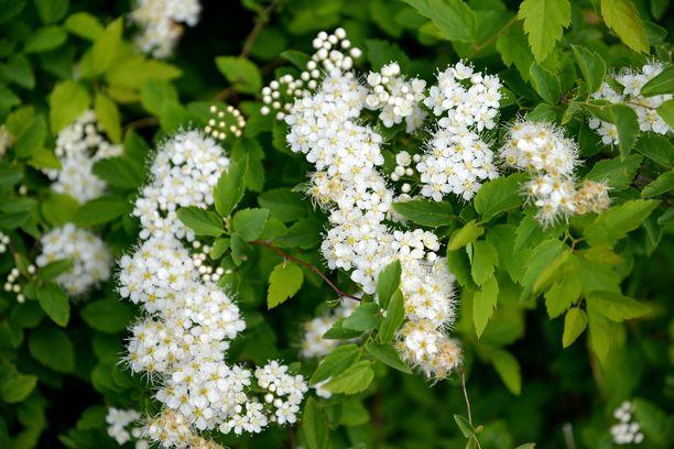Virpiangervo on yksi kevään suosikeista.