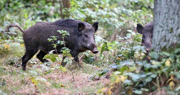 Suomessa kaadetuista villisioista otetuilla näytteillä pyritään huolehtimaan, ettei sikaeläimiin tarttuva Afrikkalainen sikarutto leviä Suomeen. Kuvituskuva.