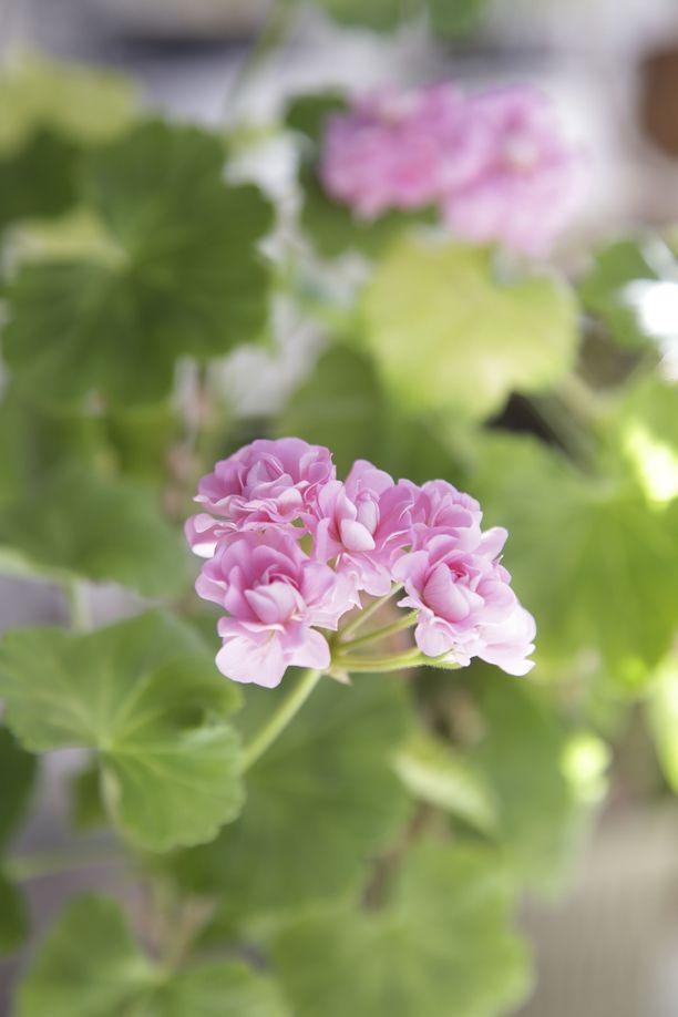 Prinsesse Filippa on ruusunnuppupelargoni. Sen kukinta muistuttaa ruusukimppua.