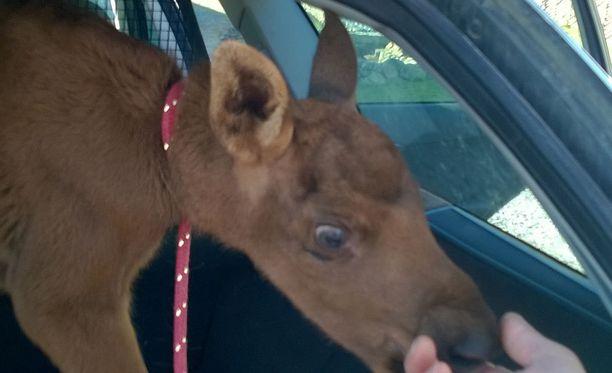 Pelastajansa mukaan nimetty vasa totuttelee parhaillaan elämään uudessa kodissaan Ranuan eläinpuistossa.