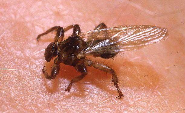 Hirvikärpänen on noin 5-6 millimetriä pitkä hyönteinen.