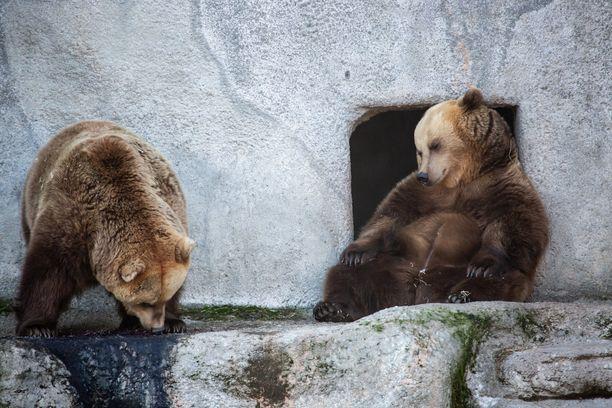 Korkeasaaren karhut olivat hyvin uupuneita ennen kuin viimein hoksasivat mönkiä talviunille.