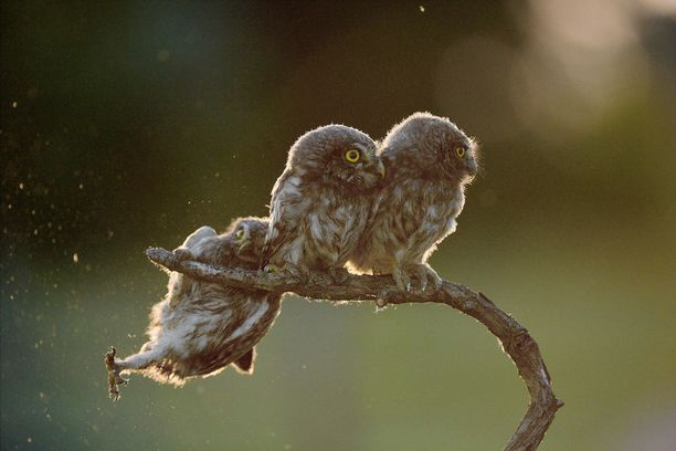 Tibor Kerczin kuvassa yhdellä pöllöistä tuntuu olevan vaikeuksia oksalla pysymisessä.