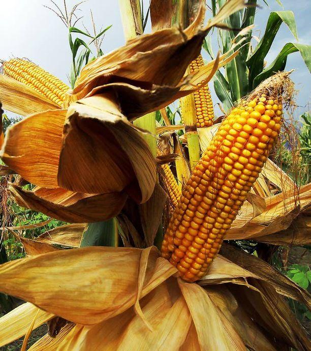 Yhdysvaltain maissista kolmasosa käytetään biopolttoaineena. Suomalainen metsä tarjoaa ekologisempaa polttoainetta.
