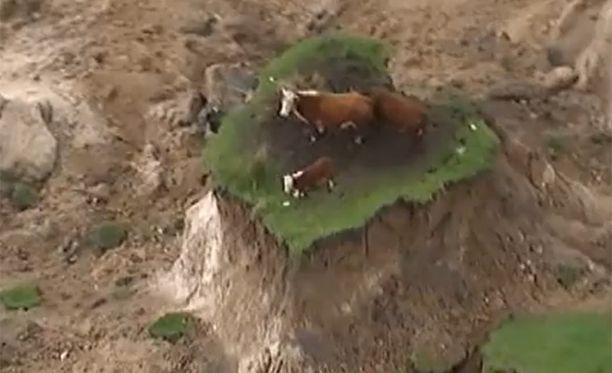 Nämä lehmät jäivät jumiin maakielekkeelle.