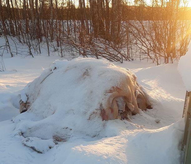 Hyrynsalmella Moisiovaaran jätepisteellä oli uudenvuodenaattona kasa nahkoja.