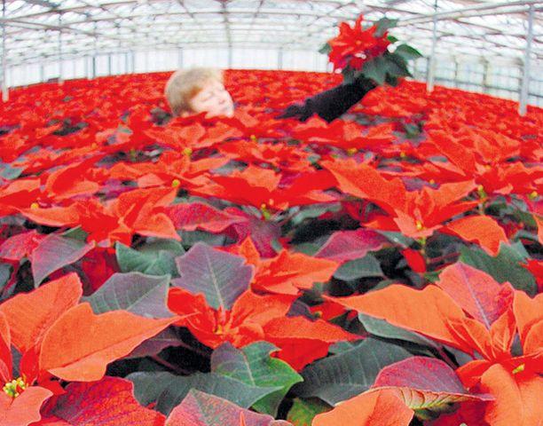 JOULUKSI KOTIIN Saksan Barthin kaupungin kasvihuoneen joulutähdet ovat jo valmiina asiakkaille toimitettaviksi.