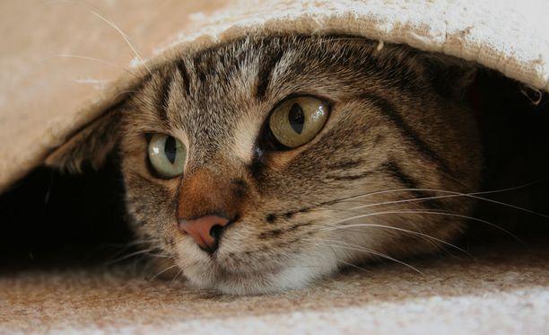 Kissa saapui kotiin vuosia katoamisen jälkeen. Kuvan kissa ei liity tapaukseen.