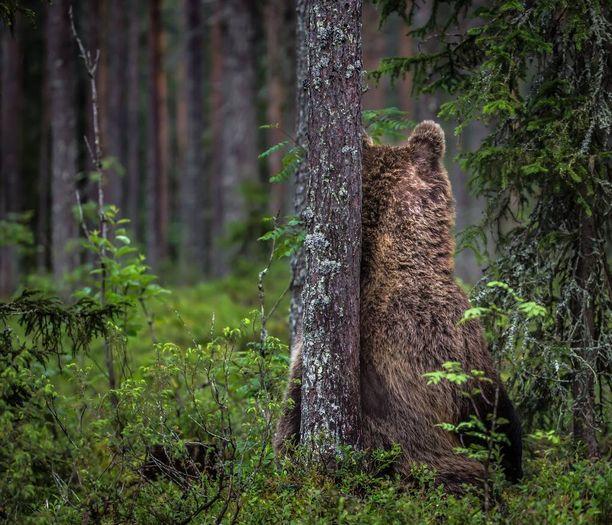 """Hannu Laakso kuvasi """"mököttävän"""" karhun kuvauskojussa Kuhmossa lähellä itärajaa."""