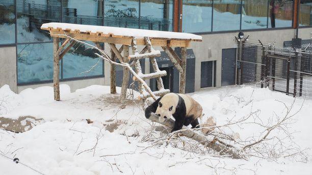 Ähtärin pandatalo avautui yleisölle lauantaina. Kuvassa Pyry-panda avajaispäivänä.