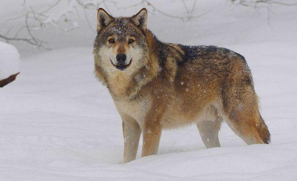 Viranomaiset päättivät lopettaa metsästäjän haavoittaman suden Kuusamossa. Kuvan susi ei liity tapaukseen.