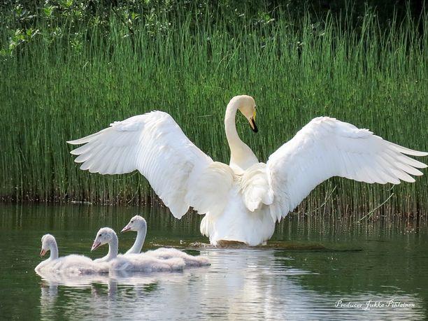 Laulujoutsenpariskunta sai toukokuun puolivälissä neljä poikasta.