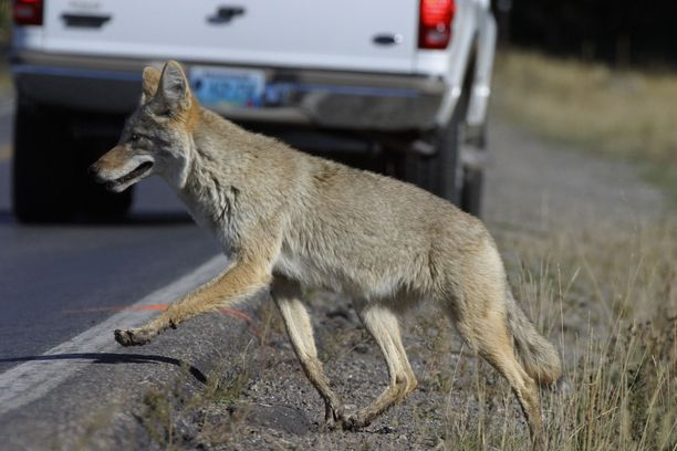 Kojootti (Canis latrans) eli preeriasusi on Pohjois-Amerikassa elävä koiraeläin. Kuvan kojootti ylittää tietä Yellowstonessa Yhdysvalloissa.