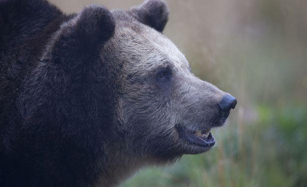 Karhu tallusteli tien toisella puolella noin 20 metrin päässä Emiliasta. Kuvituskuva.