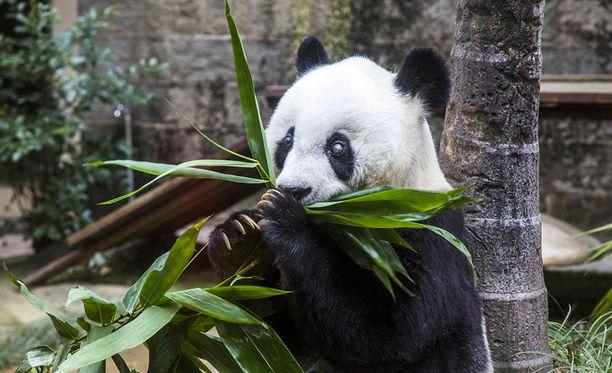 Pandat elävät vankeudessa huomattavasti pitempään kuin luonnossa.