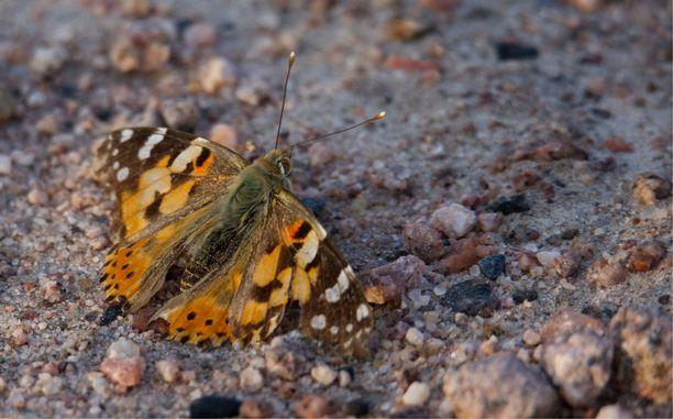 Tämä kulunut ohdakeperhonen levähteli Tyrnävällä, Pohjois-Pohjanmaalla.