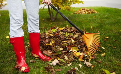 Paksua lehtikerrosta ei kannata jättää nurmikolle, koska monet nurmikon taudit viihtyvät kostean ja tiiviin lehtikerroksen alla.