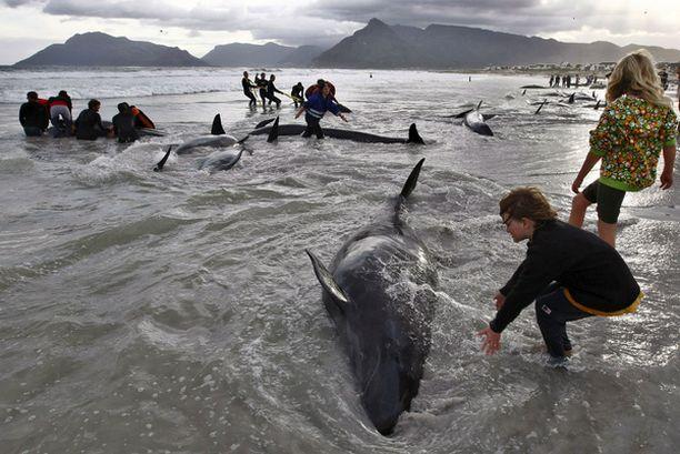 Kymmenet ihmiset yrittivät auttaa rannalle ajautuneita valaita Cape Townissa Etelä-Afrikassa.