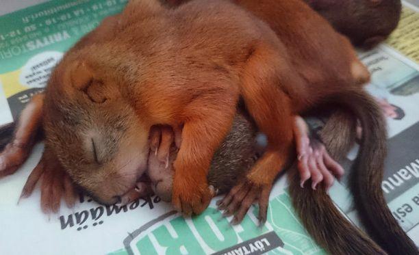 Emo hylkäsi pienet oravanpoikaset, kun pesueen kotipuu kaadettiin.