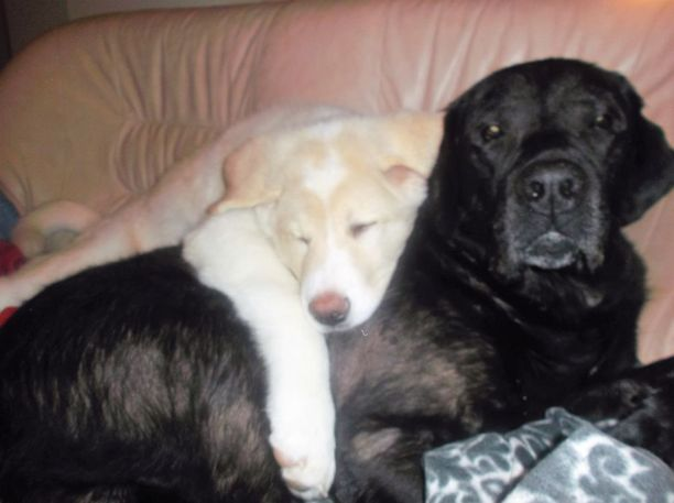 Elviksen kaverina on 13-vuotias labradorinnoutaja Bravo, jonka selässä Elvis nukkui pentuna.