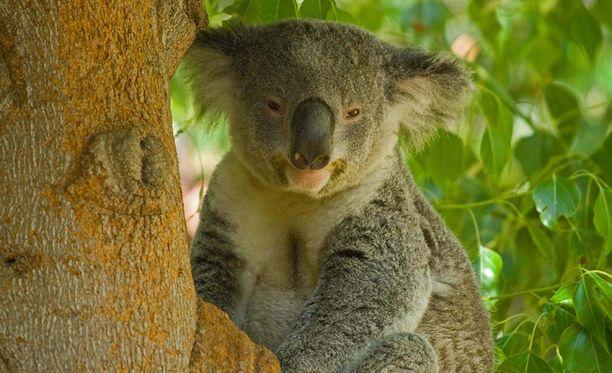 Koala on puissa elävä pussieläin. Se on koalojen heimon ainoa jäljellä oleva laji.