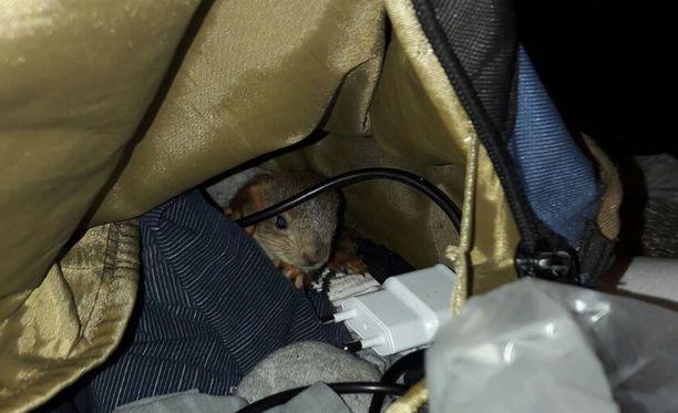 Ensin repusta löytyi yksi oravanpoikanen.