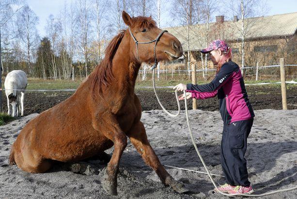 Iina Puskala on myös pehmeiden arvojen hevostila Hippiinan emäntä. Vanha rouva Saima (s.2005) on kova tekemään temppuja. Saiman keväällä syntynyttä yllätysvarsaa ei äidin istumistemppu paljon hetkauta.