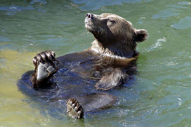 Karhut hyppäävät mielellään uimaan hellekeleillä.