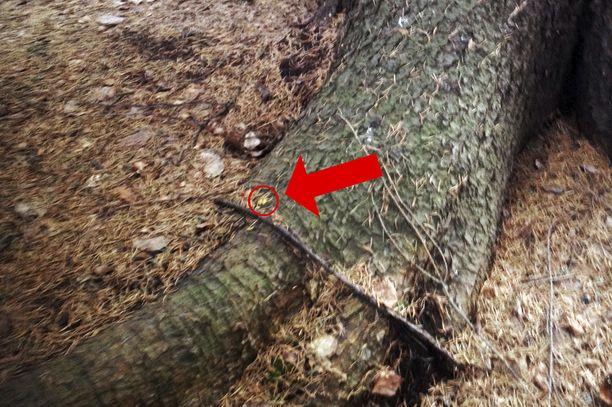 Hakkuiden jälkeen löytyneet pienet keltaiset papanat vahvistivat, että metsä oli liito-oravien elinaluetta.