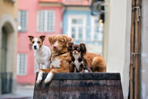 Pienillä koirilla on isompia enemmän sisäsiisteysongelmia.