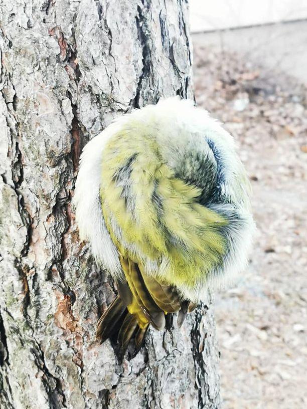 Lintu oli vetäytynyt kerälle puun rungolle.