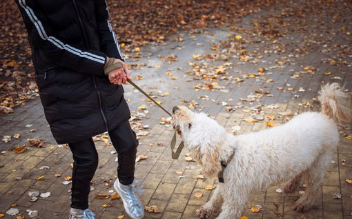 Tunteeko koirasi syyllisyyttä? Näin omistajat inhimillistävät koiria, ja siitä voi olla suurta haittaa