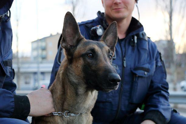 Arkistokuva belgianpaimenkoira malinoisista, joita käytetään tyypillisesti poliisikoirina.