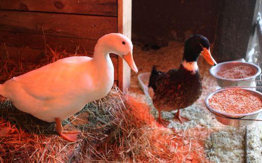 Knuutilan navetassa asustaa eriskummallinen ankkapari – minkähän näköisiä poikasia he mahtavatkaan saada?
