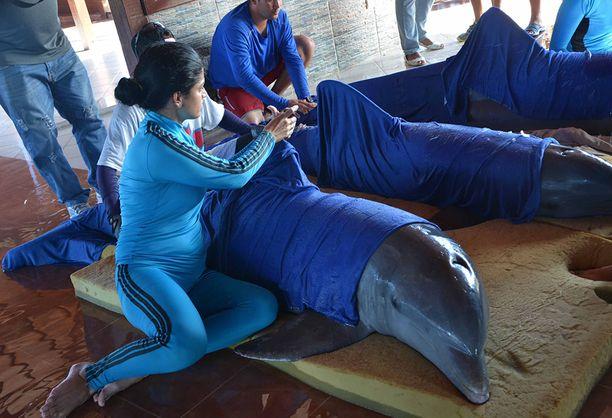 Delfinaarion työntekijät käärivät eläimet märkiin huopiin ennen kuljetusta.