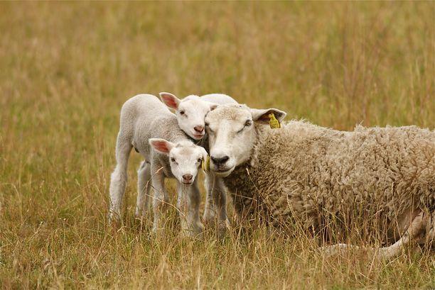 Lampaat kärsivät vuosia maatilalla, jonka asiat olivat pielessä.
