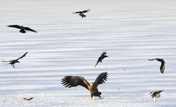 Paraisilla huonokuntoisella merikotkalla todettiin lintuinfluenssa. Kuvituskuva.