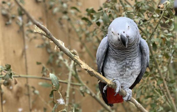 Häkkioloissa harmaapapukaija oppii helposti matkimaan puhumista. Kuvan papukaijan nimi on Jade.