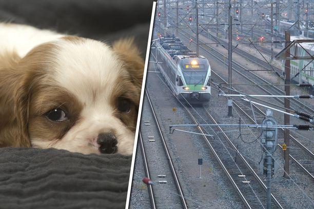 Koira pääsi karkuteille, ja hätääntyneet ihmiset säntäsivät perässä junaraiteille Helsingissä. Kuvan koira ei liity tapaukseen.