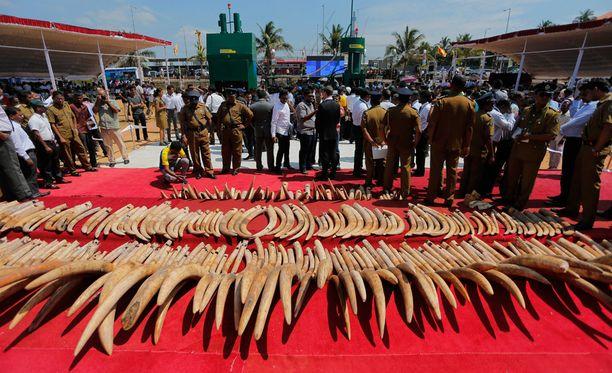 Muun muassa Tansaniasta salakuljetettua norsunluuta tuhottiin Sri Lankassa alkuviikosta.
