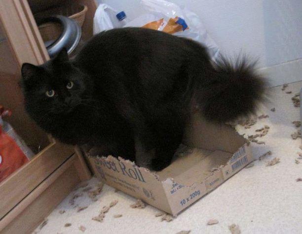 Monen kissan tapaan Viuhti rakastaa pahvilaatikoita. Rajusti. -Viuhti rakastaa pahvilaatikoita välillä niinkin paljon, että järsii ne kappaleiksi. Yleensä se ei haittaa, paitsi jos kyseisen laatikon varalle on suunniteltu käyttöä, kun tätäkin laatikkoa piti käyttää uudelleen paketin lähettämiseen. Tällainen tuho on mahdollinen yhdessä päivässäkin, joten tarkkana saa olla mitä jättää mihinkin!