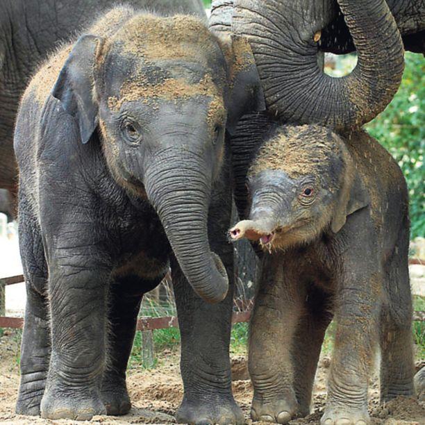 Yllätysvauva Yhdysvaltain republikaanipuolueessa — jonka tunnus sattuu olemaan norsu — on kohistu viime päivät varapresidenttiehdokkaan jälkikasvusta. Vähintään yhtä äimänä ovat Hollannissa sijaitsevan Emmenin eläintarhan työntekijät tästä torstaina maailmaan putkahtaneesta pienokaisesta.