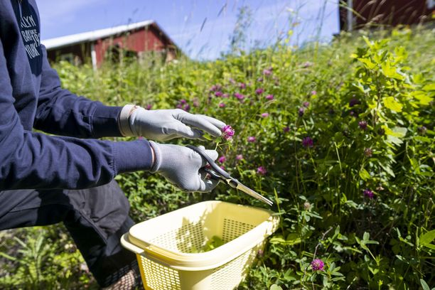 Kaikille tuttua puna-apilaa voi kukkineen hyödyntää yrttiteehen tai vaikka ruoka-annosten koristeeksi, Mikko Metsänen suosittelee.