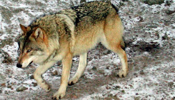 Susi pakenee yleensä ihmistä, sanoo tutkimusmestari Seppo Ronkainen. Kuvan susi ei liity juttuun.