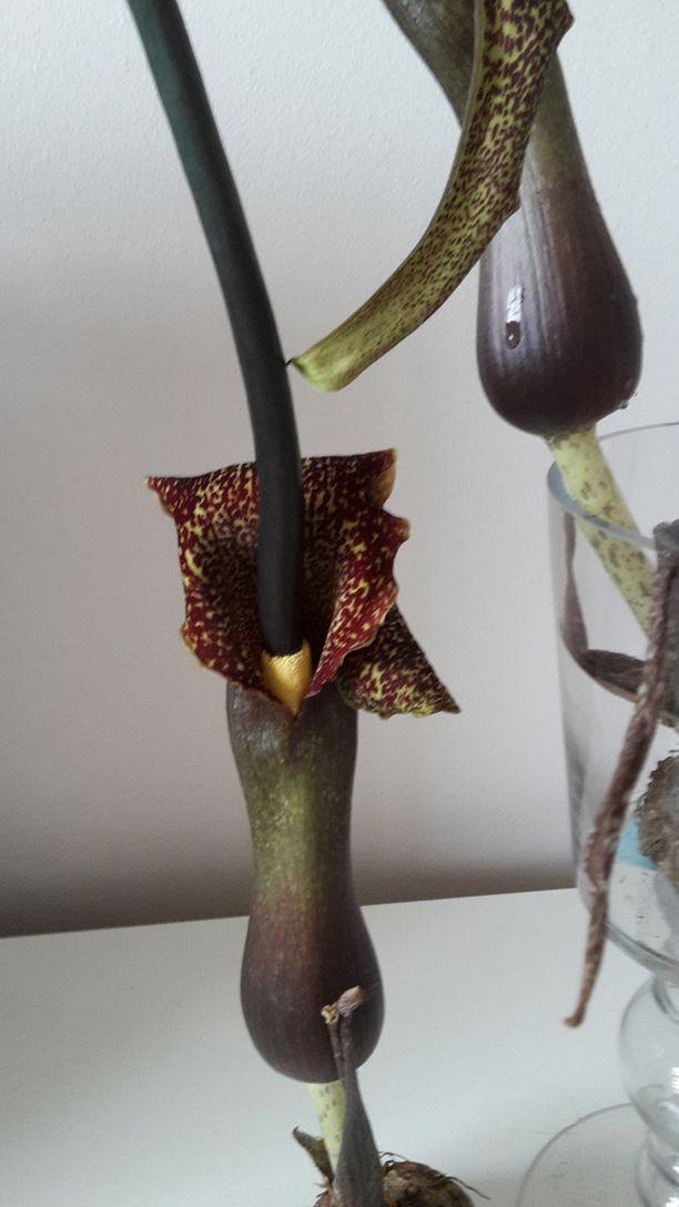 Nainen osti useita erivärisiä Aaronin sauvoja, joista tumman punaiset ehtivät kukkimaan ensimmäisinä. Kasvit päätyivät vauhdilla roskiin.