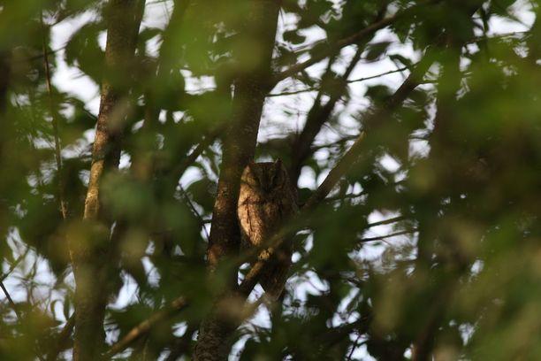 Yöaktiivinen kyläpöllönen pesii Etelä-Euroopassa ja Lähi-idässä.