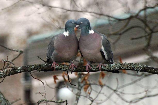 Rakkauden huumassa toisiaan hellivät sepelkyyhkyt ovat sykähdyttävä näky.