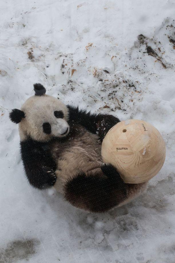 Lumi-panda alkoi heti leikkiä puupallollaan.